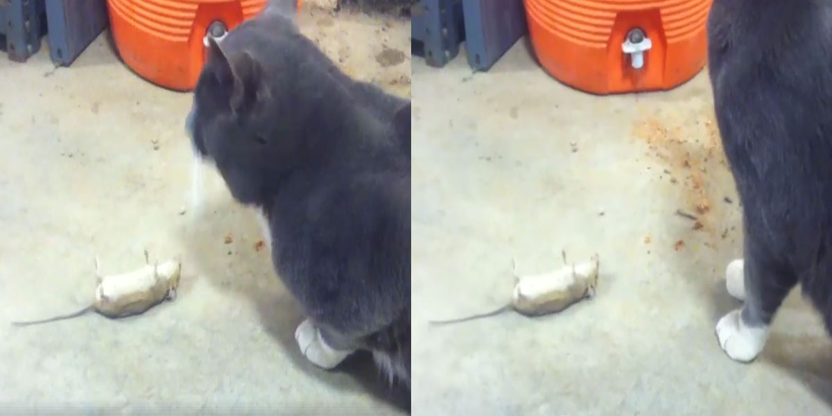 Smart-Mouse-Plays-Dead-in-Front-of-Cat-to-Escape-It