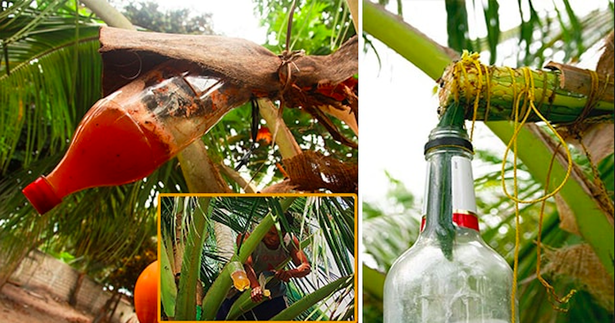 tuba coconut wine health benefits